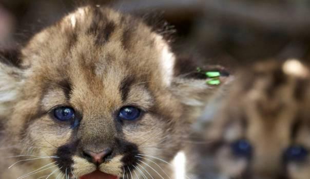 Slash hid a mountain lion cub in his hotel room.