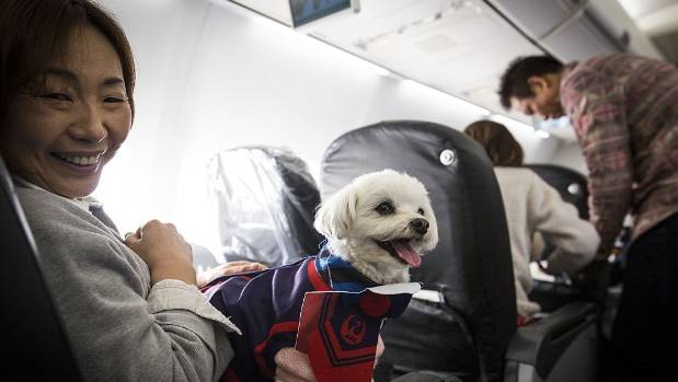 Japan airlines lets dogs travel in main cabin with owners for Traveling on a plane with a dog
