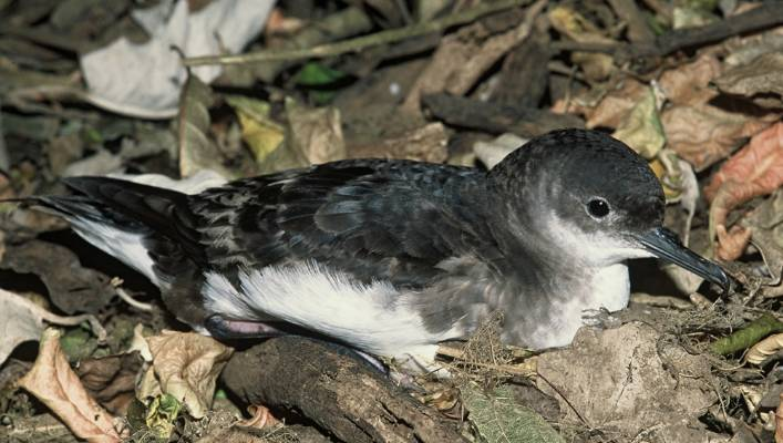 Fluttering shearwaters are found in inshore waters around the top half of New Zealand.