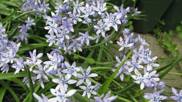 Plant Scilla ramburei bulbs now to flower in spring.
