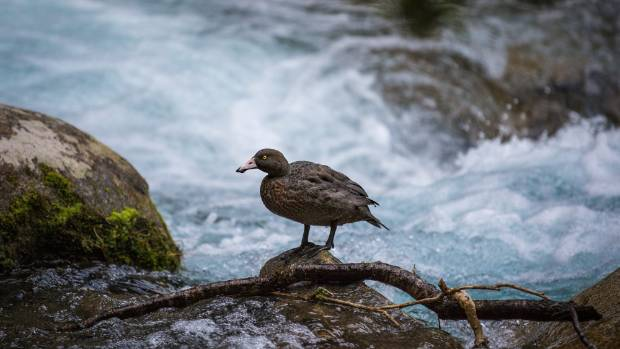 A whio/blue duck spotted on Marian Falls in Fiordland.