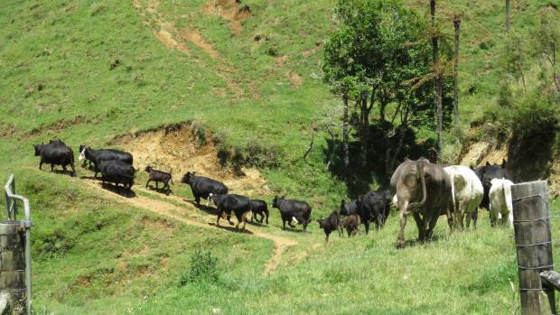 The station has 120, mostly angus, breeding cows and fattens heifers and steers.