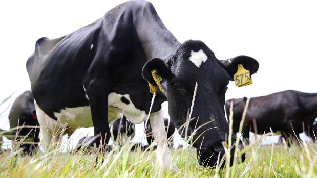 ANZ and Westpac upgrade next season's NZ milk price forecasts