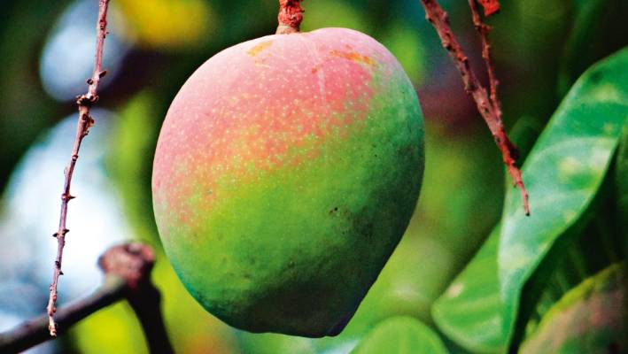 8 tropical fruits you can grow in New Zealand   Stuff co nz