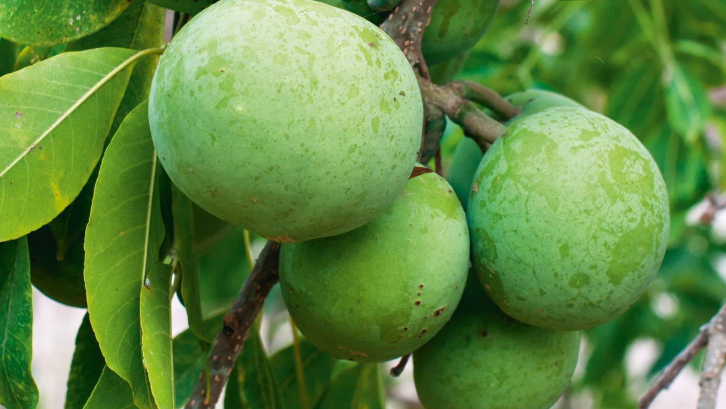 8 tropical fruits you can grow in New Zealand | Stuff co nz