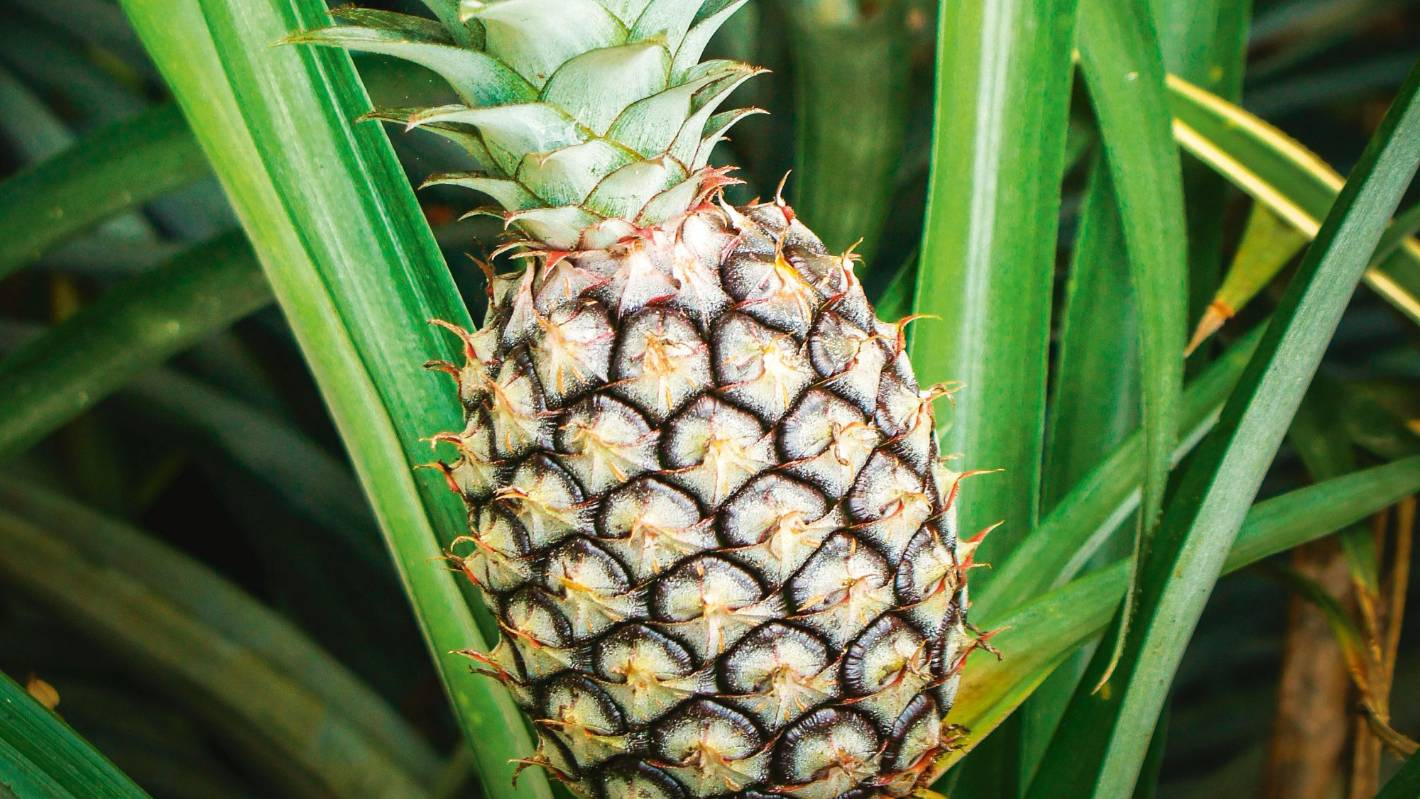 8c3d82a8a646 8 tropical fruits you can grow in New Zealand
