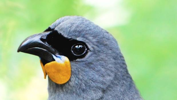 An artist's impression of the South Island kokako which is thought to be extinct.