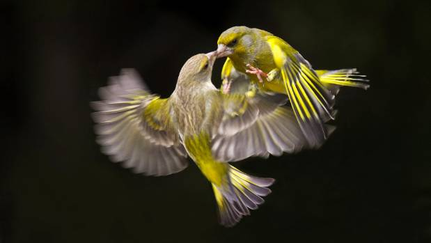 This photo of two greenfinches fighting won the Champion Nature Print for Bob Smith at the Photographic Society of New ...