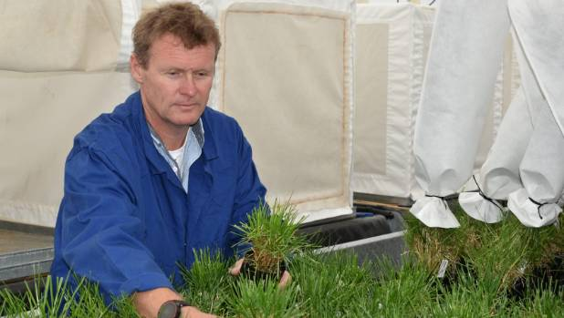 AgResearch scientist Greg Bryan works with some of the GM grasses developed at Grasslands in preparation for overseas ...