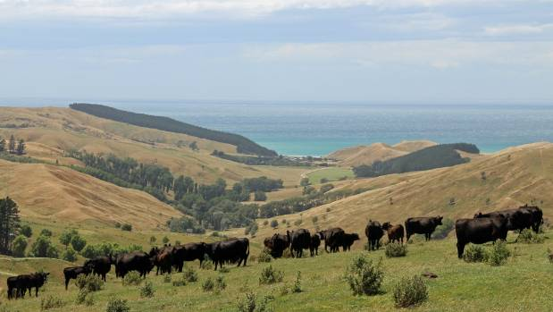Cattle graze on Arataura Station in Central Hawke's Bay.