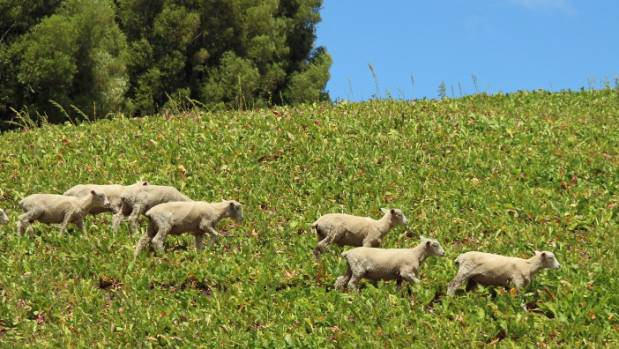 Romney cryptorchid sheep on a pasja crop on Arataura Station at Porangahau.