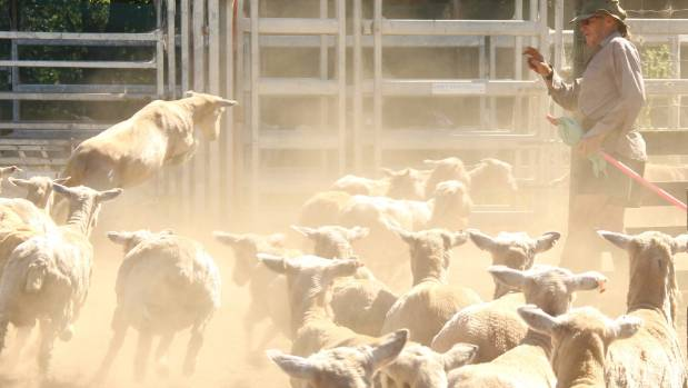 Prime ewe values were unchanged with top ewes making as much as $125.