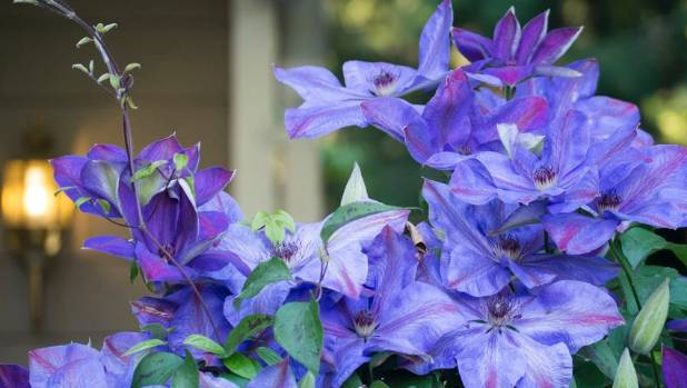 Mulch clematis well to keep their shallow roots cool and reduce moisture loss.