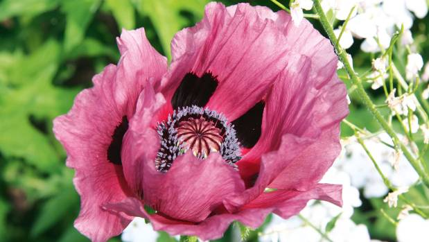 Luscious Oriental poppies have large ruffled blooms in pink, red and orange. They tolerate most soils if the drainage is ...