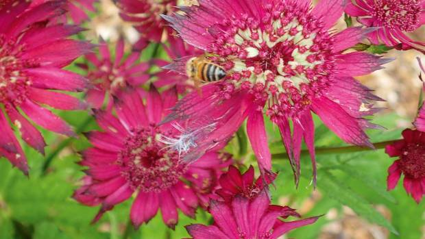 Astrantia major 'Gill Richardson'  has large, cherry red flowers that appear from November to May if deadheaded. A ...