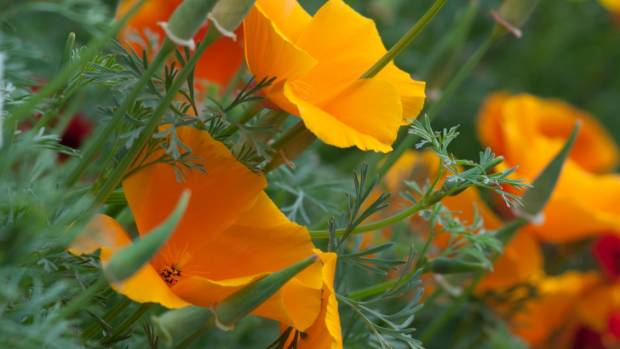 California poppies (Eschscholzia californica).