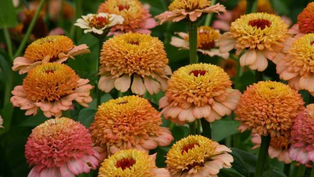 'Zinderella Peach Blush' is a double-flowered crested zinnia in shades of cream, peach and salmon. It's a superb cut ...