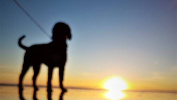 DECEMBER 15: Three-year-old puppy Ailbe is out for a, evening walk on Oreti Beach. He likes sunsets.