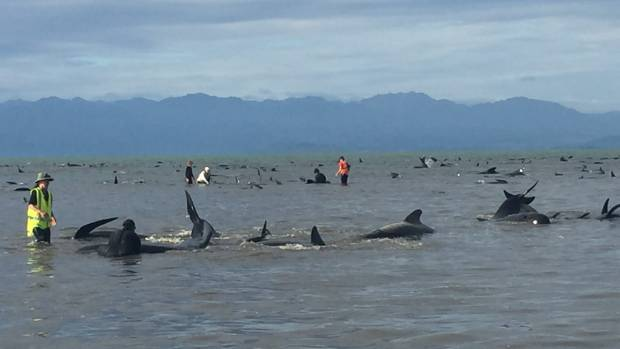 Rescuers stand amongst the 416 stranded whales.