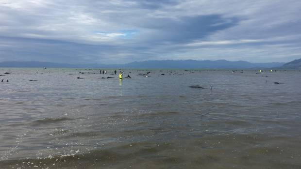 This is the biggest stranding in recent times in New Zealand.