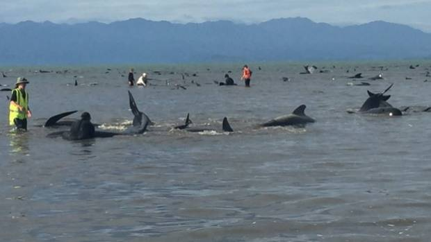 Hundreds of pilot whales are dead after a mass stranding at Farewell Spit in Golden Bay.