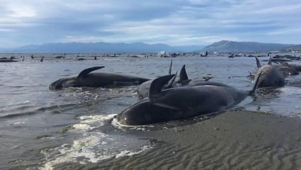 Hundreds of whales were stranded at Farewell Spit.