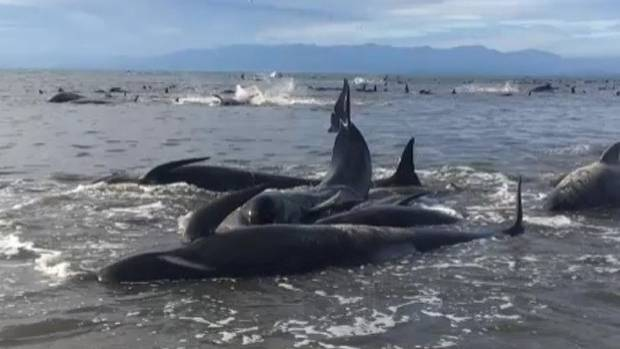 Hundreds of whales have stranded at Farewell Spit in one of the biggest beachings in New Zealand history