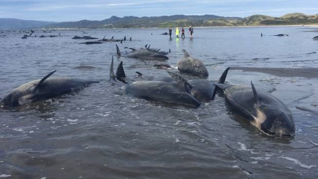 100 stranded whales rescued from NZ beach