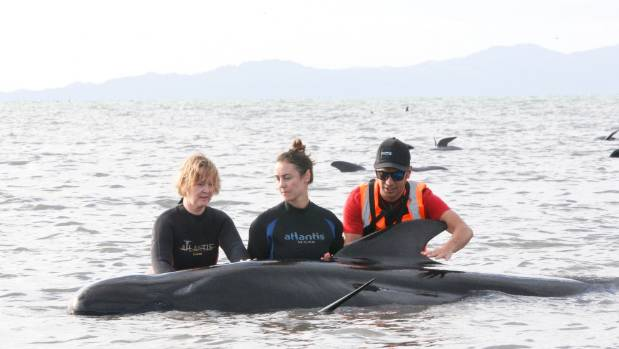 Volunteers try to refloat one of the stranded whales.