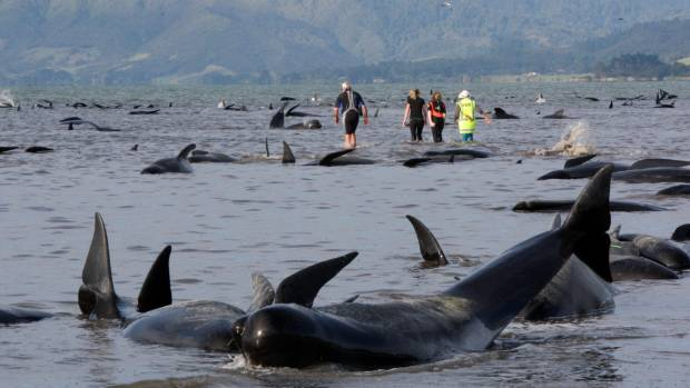 More than 400 whales were stranded on Farewell Spit most of them dying
