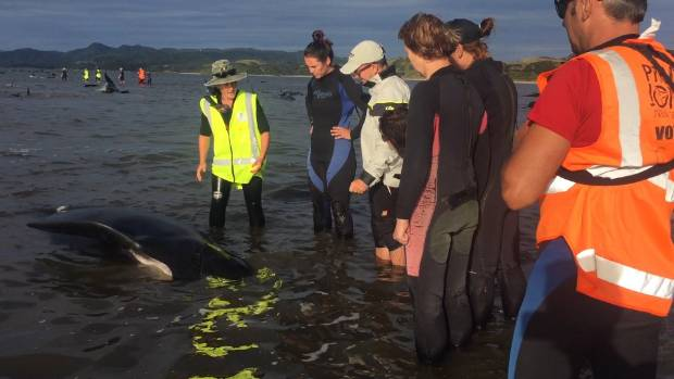 Rescuers are told how to deal with the whales.