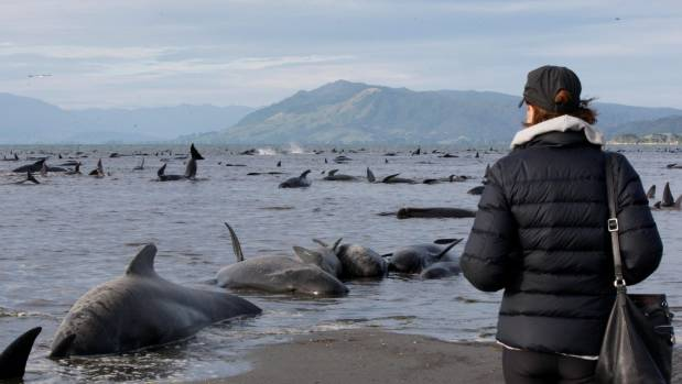 More than 70 per cent of the whales died after the stranding