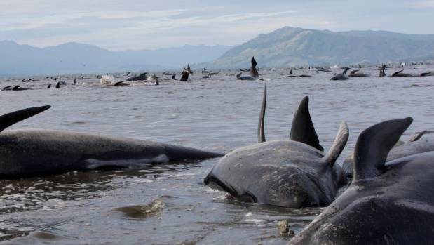 The whales were stranded about 1 kilometre from the base, on the inside of Farewell Spit.