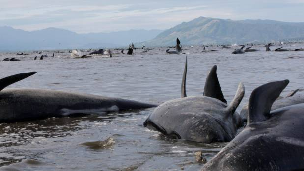 Most of the 416 whales that stranded in Golden Bay, died after stranding late on Thursday night.