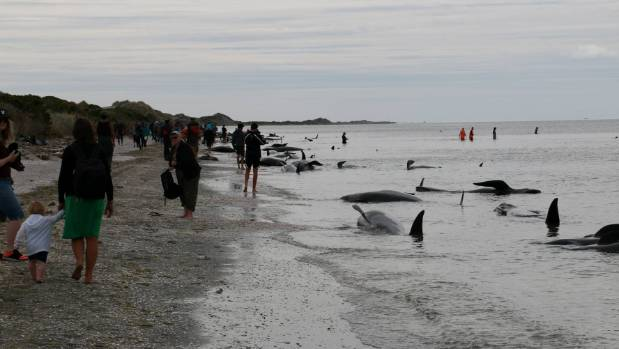 Volunteers faced a huge task refloating the stranded whales.