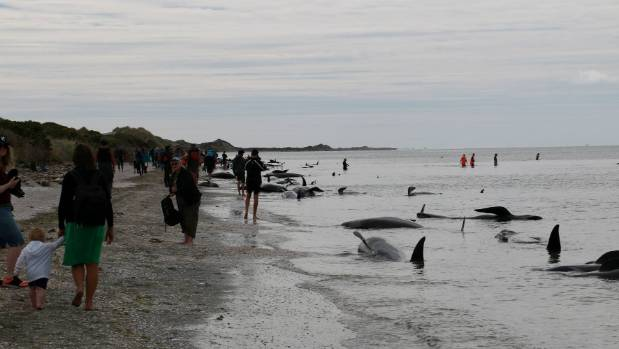 People respond to the call for help at Farewell Spit where more than 400 pilot whales have stranded.