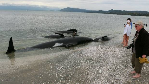 Rescuers were able to refloat all of the whales that were still alive, however many had died overnight.
