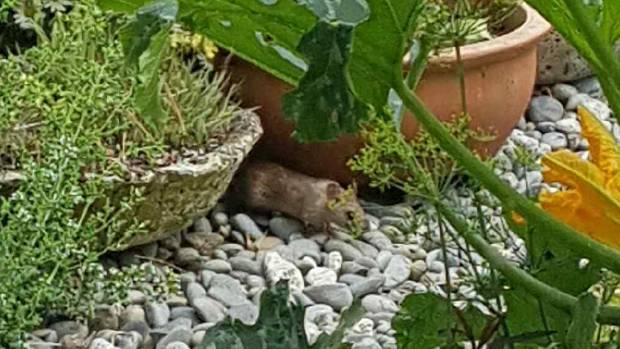 A tomato thieving rat.