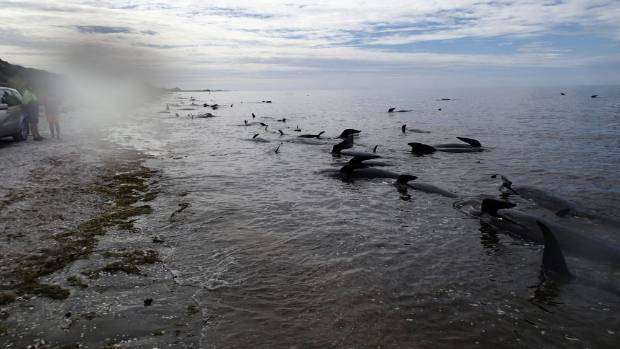 Pete Wiles said the water's edge was lined with whale carcasses when he arrived at the stranding site at Farewell Spit.