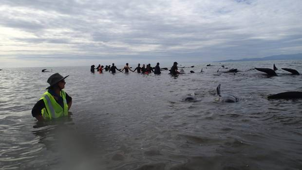 Pete and Ana Wiles joined volunteers to form a human chain and herd the surviving whales back out to sea at high tide.