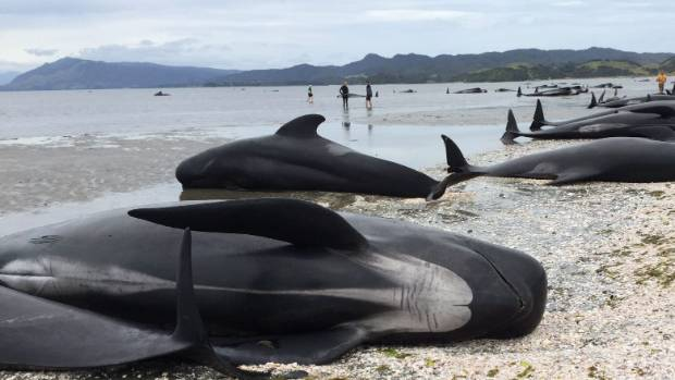 The stranding is thought to be the third biggest in New Zealand's history.
