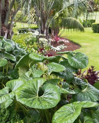 Ligularia japonicum 'Giganteum' (aka tractor seat plant) enjoys semi-shade.