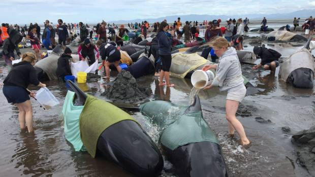 Volunteers work on stranded whales at Farewell Spit.
