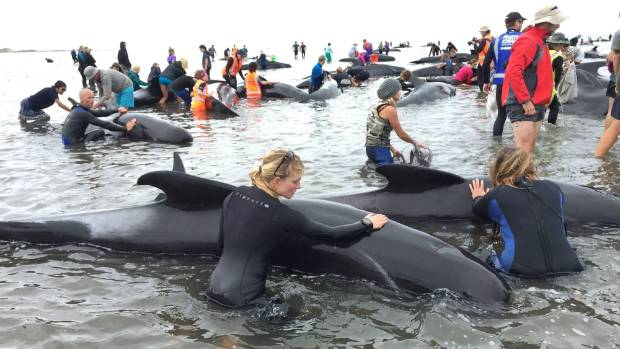 Hundreds of volunteers turned out to help at a mass whale stranding in Golden Bay.