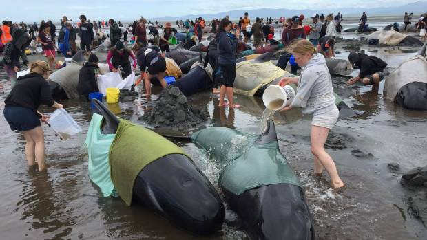 Volunteers have placed wet sheets on the whales to keep them cool.