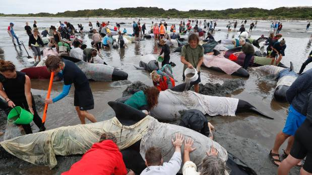 People turned out in their hundreds to help save the pilot whales after pods were stranded at Farewell Spit.