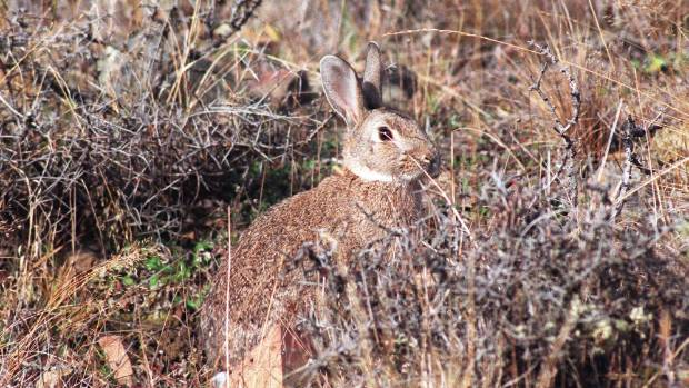 One of our most delicious yet prolific pests, rabbits are underated as a protein source in New Zealand.