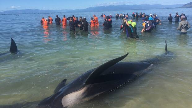 Volunteers form a human chain to stop the fresh pod of 200 whales from stranding.