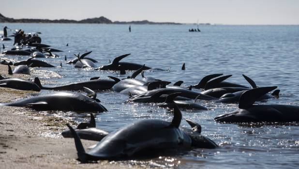"""""""There's a disastrous number of dead animals there at the top of the beach,"""" Neil Murray said."""