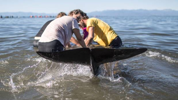 Some of the 100 stranded whales on Saturday morning had been attacked, and there had been a concern over blood in the water.